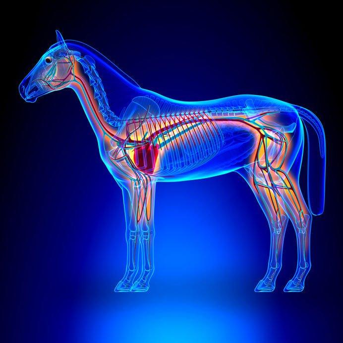 Le système cardio-vasculaire du cheval